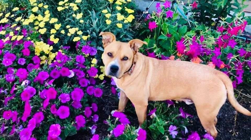 Pit bull mix standing in flower bed